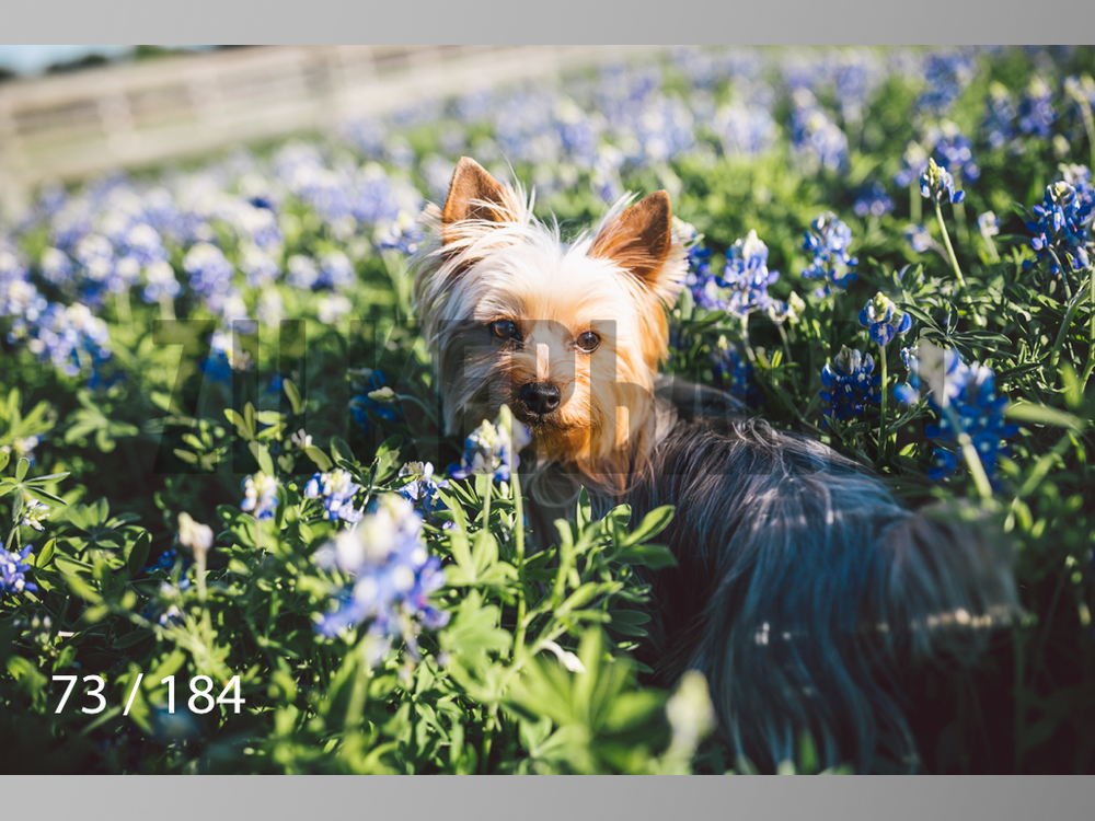bluebonnet-073.jpg