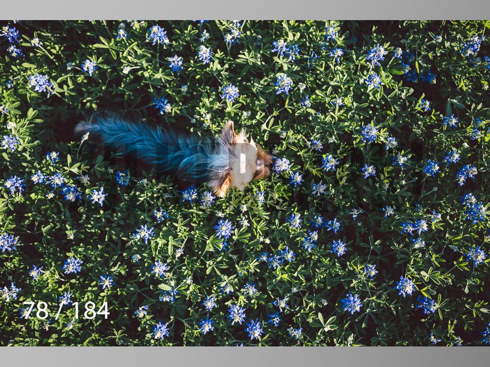 bluebonnet-078.jpg
