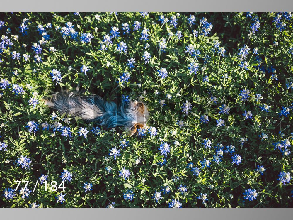 bluebonnet-077.jpg