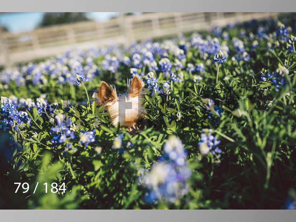 bluebonnet-079.jpg
