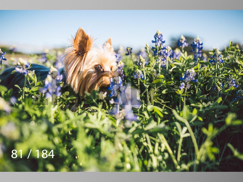 bluebonnet-081.jpg