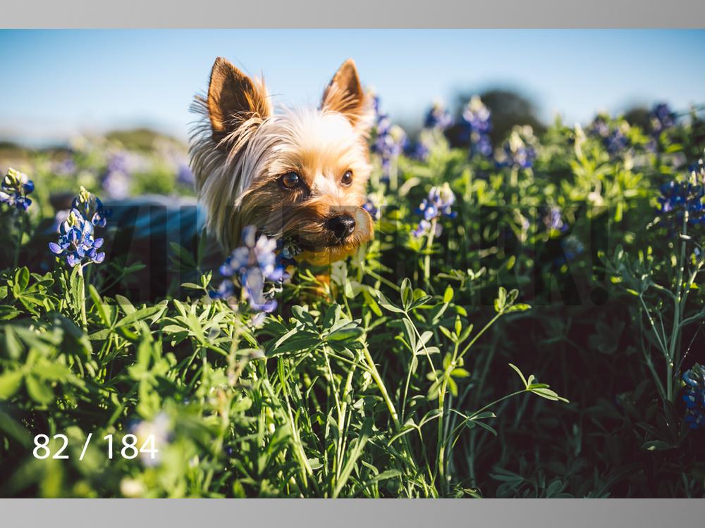 bluebonnet-082.jpg