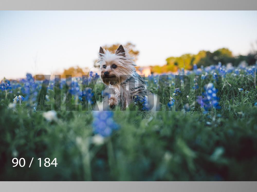 bluebonnet-090.jpg