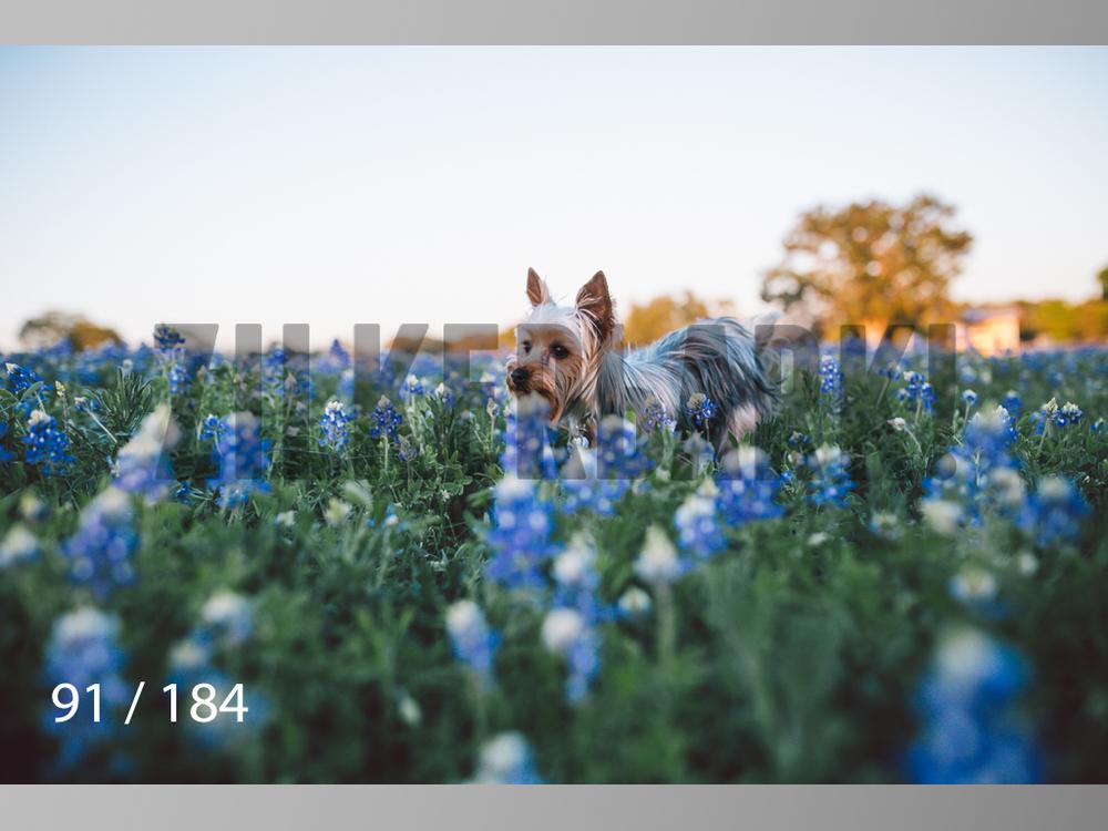 bluebonnet-091.jpg