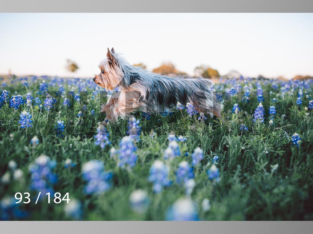 bluebonnet-093.jpg