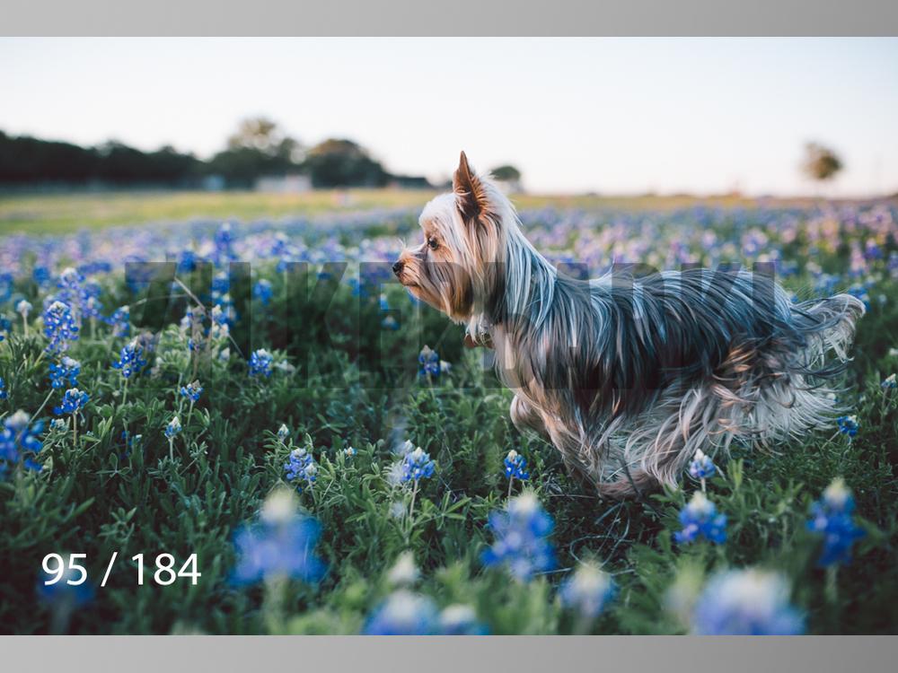 bluebonnet-095.jpg