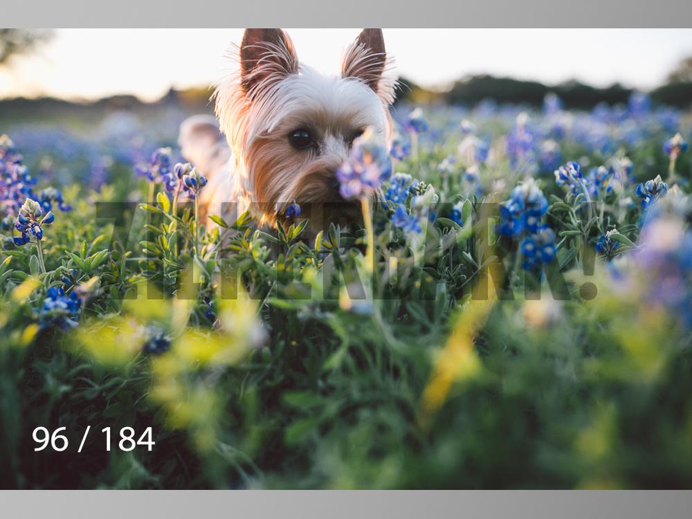 bluebonnet-096.jpg
