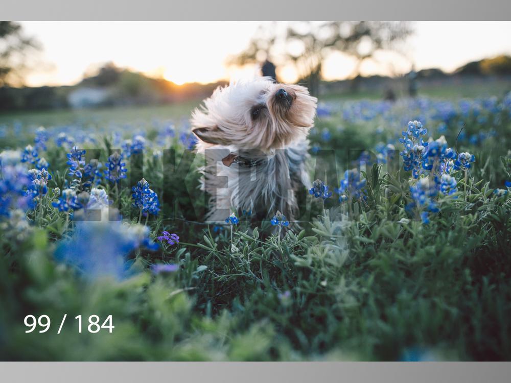 bluebonnet-099.jpg