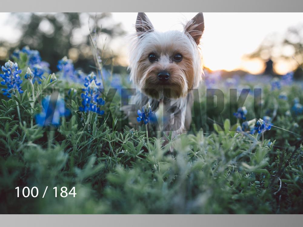 bluebonnet-100.jpg