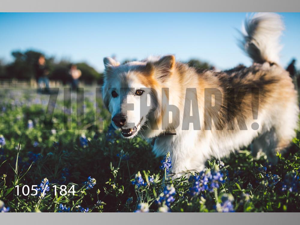 bluebonnet-105.jpg
