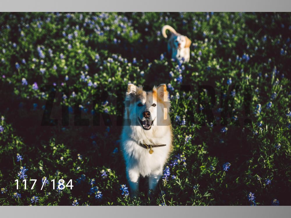 bluebonnet-117.jpg