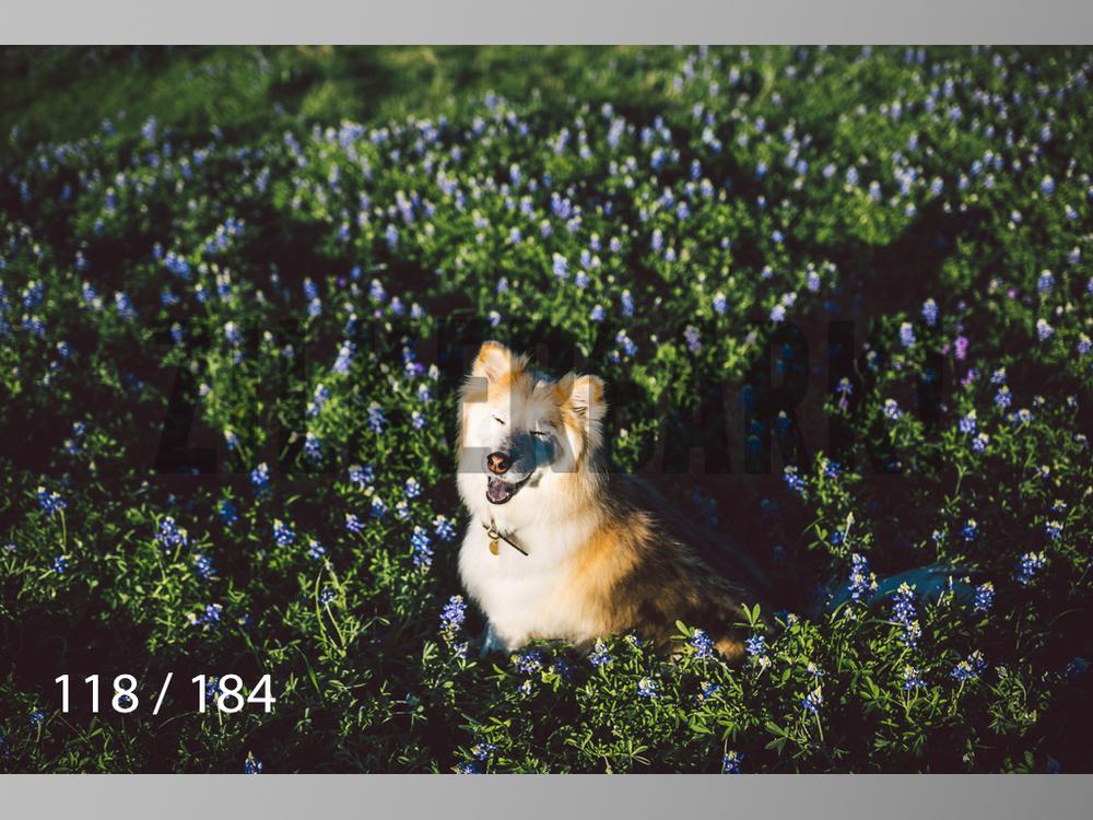 bluebonnet-118.jpg