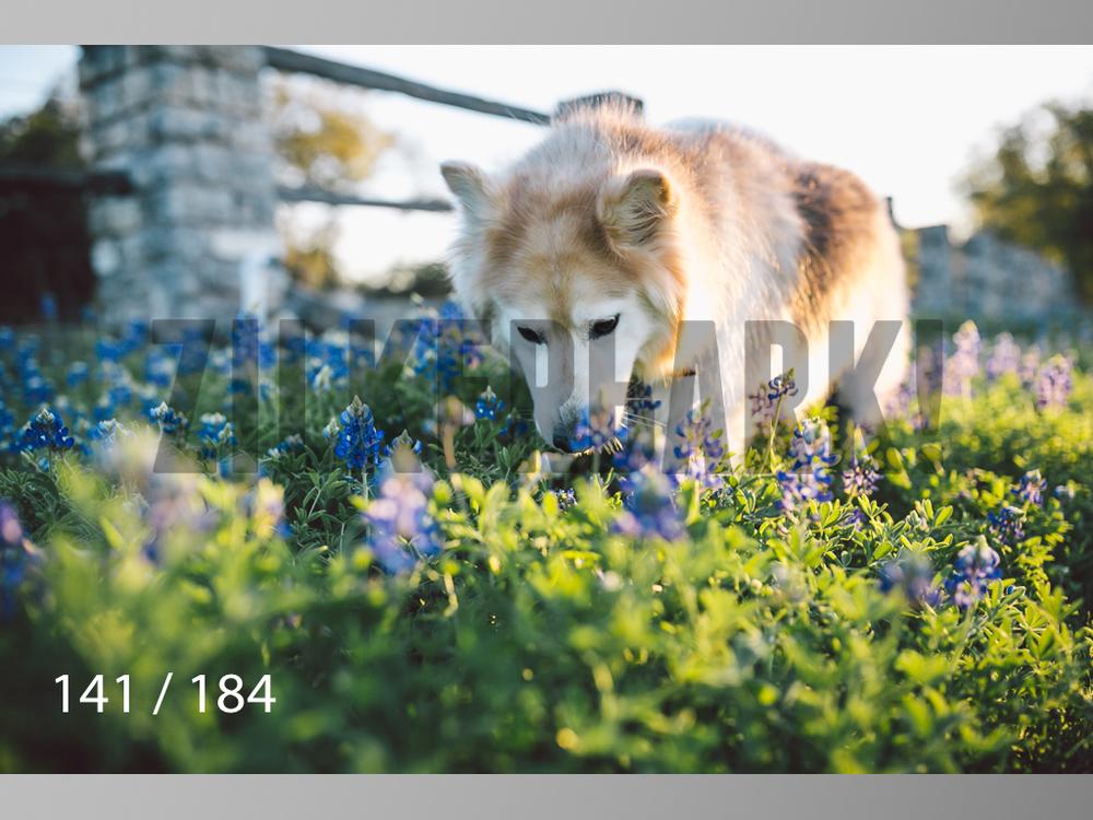bluebonnet-141.jpg