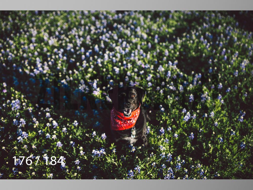 bluebonnet-176.jpg