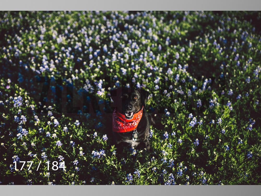 bluebonnet-177.jpg