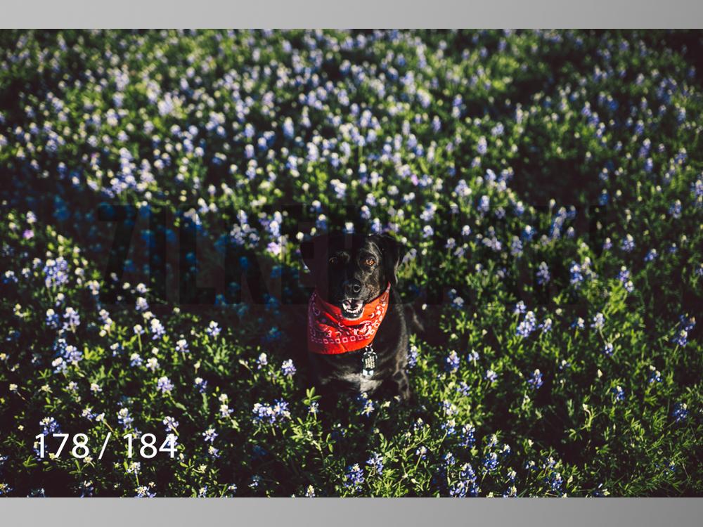 bluebonnet-178.jpg
