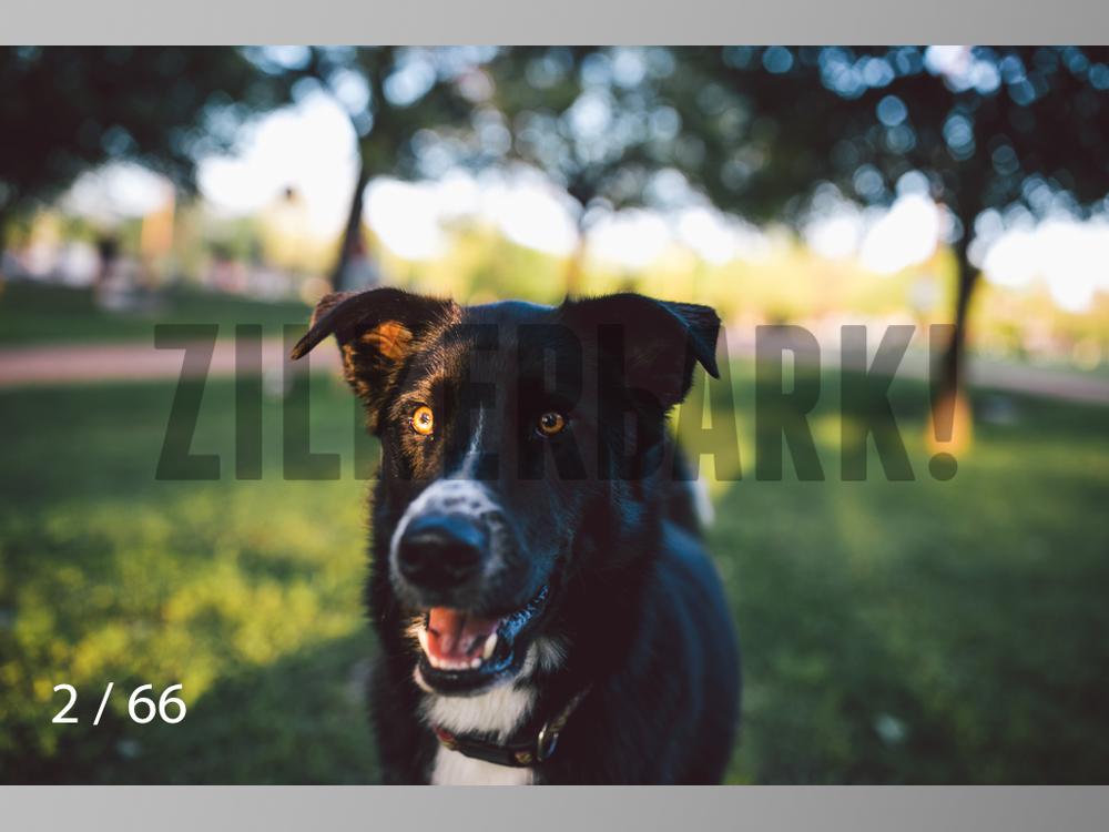 Rocco Husky-02.jpg