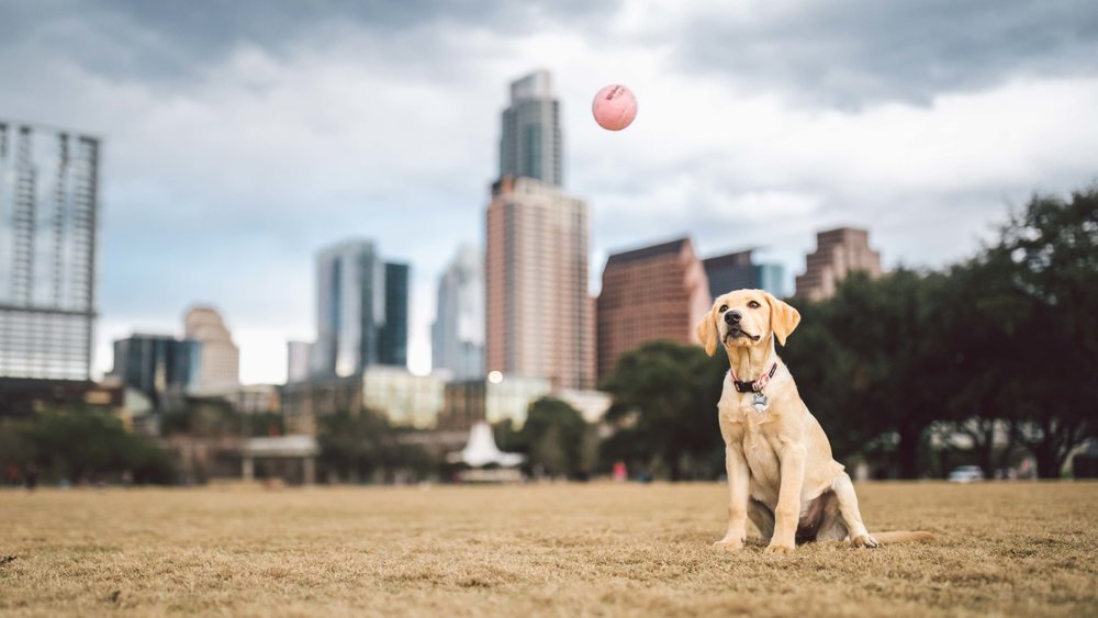Dog Portraits in Austin TX