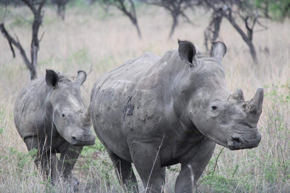 rhino and baby