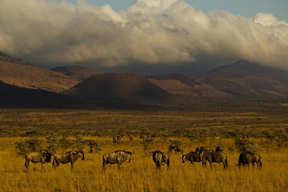 Elephant bull ( Loxondonta africana  ) large tusker_Ol Donyo_Chuyulu Hills_Kenya_Beverly Joubert20120911_0983.jpg
