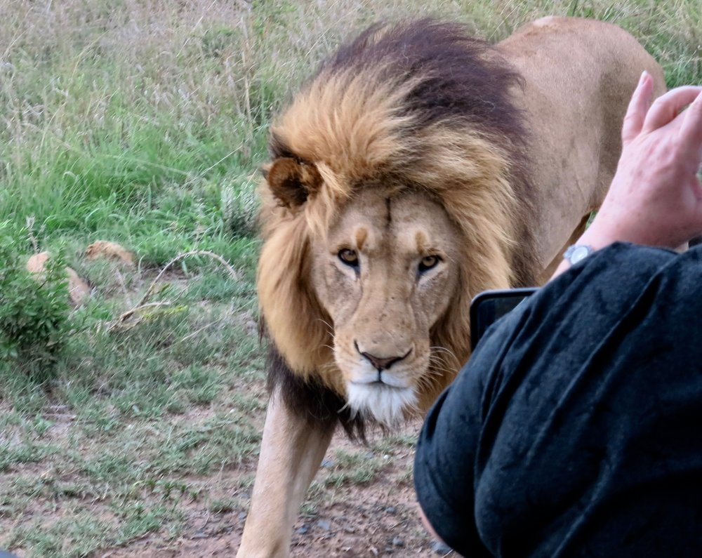 Soul gazing with an enormous lion while out on safari at Nambiti!  Photo: Kerry David