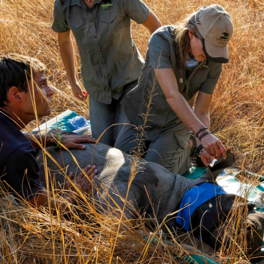 Petronel attending to a rhino out in the bush.