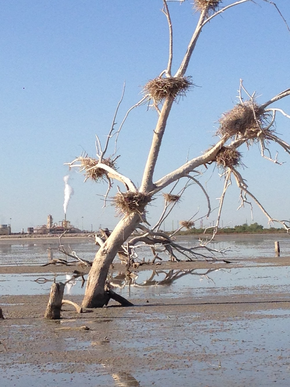 A dead tree with nests of lesser egrets or cormorants    : photo by Christopher Langley