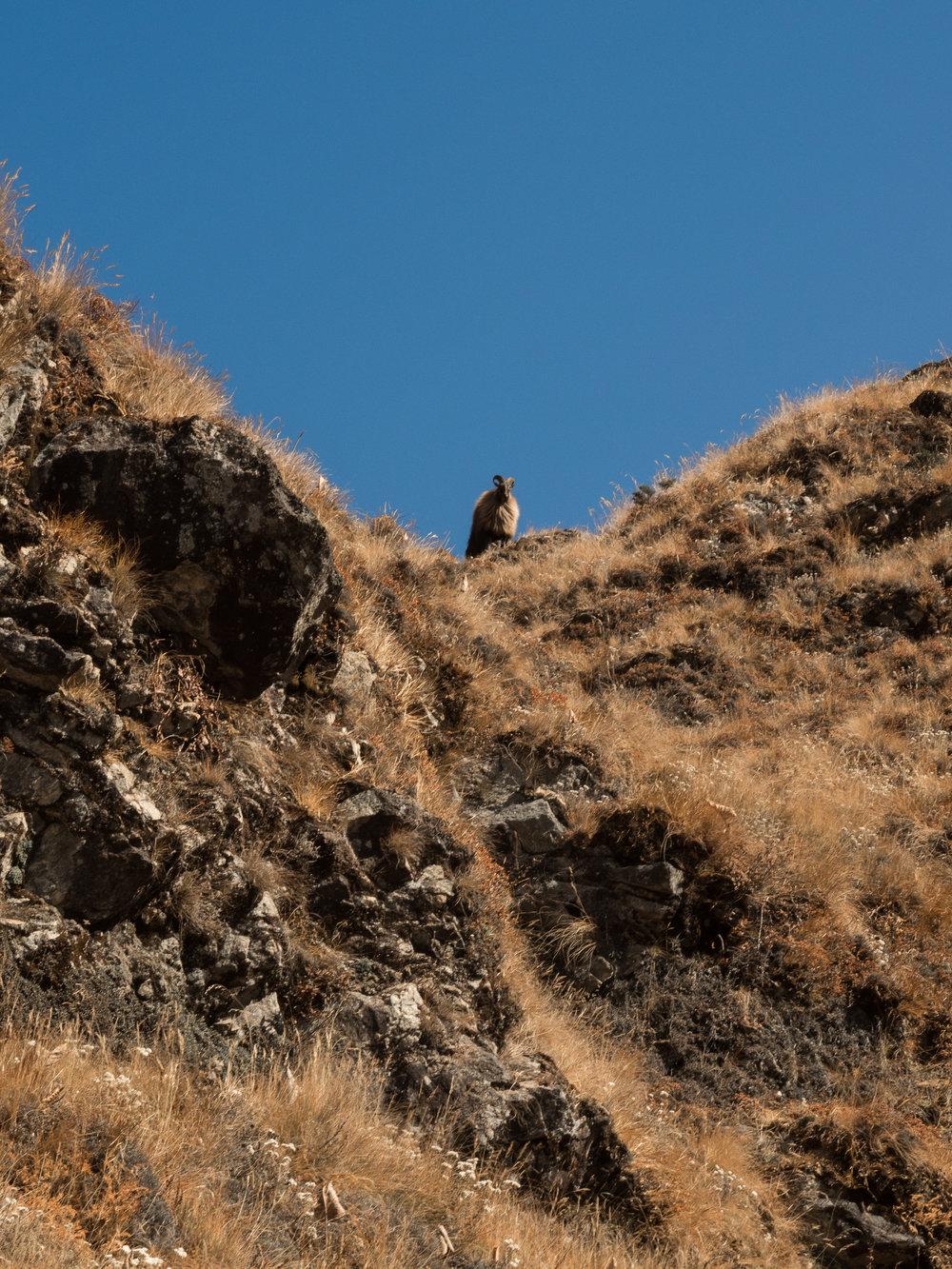 Himalayan Tahr, 2015