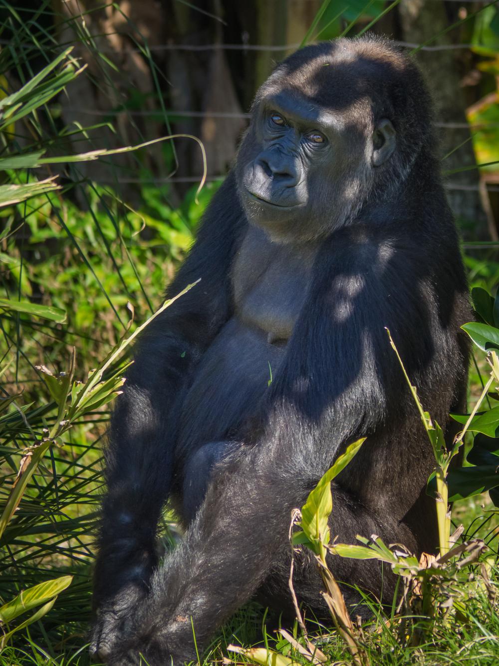 Gorilla (1).jpg
