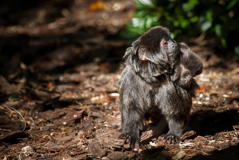 Goeldi's Monkey (1).jpg