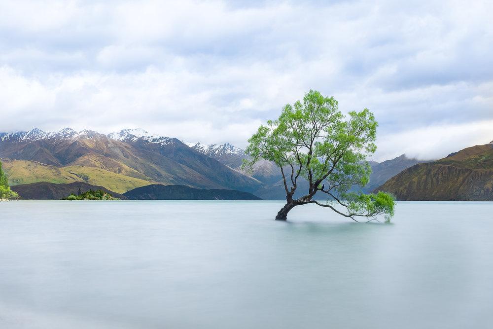 Wanaka Tree.jpg