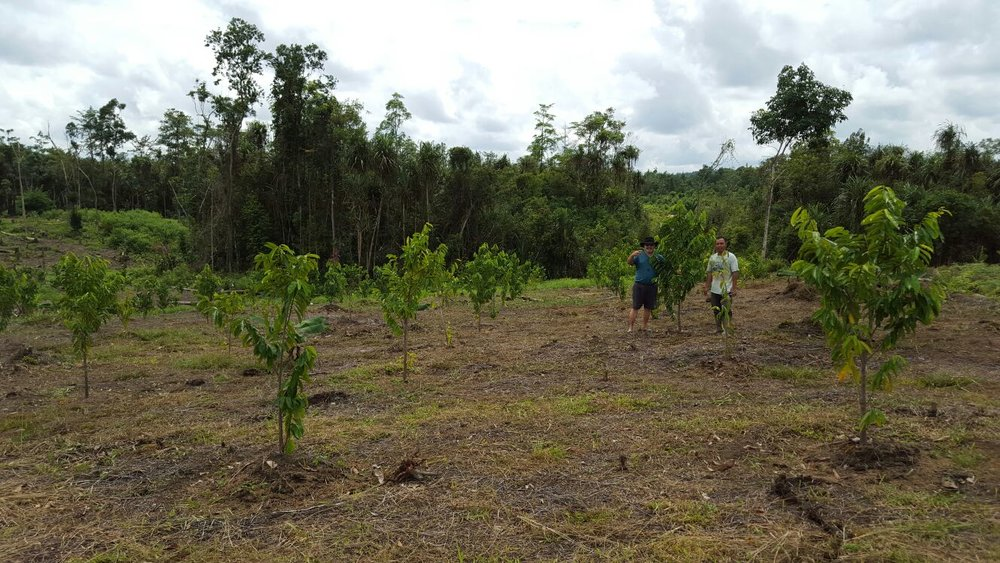 Guyaa plantation 1.jpg