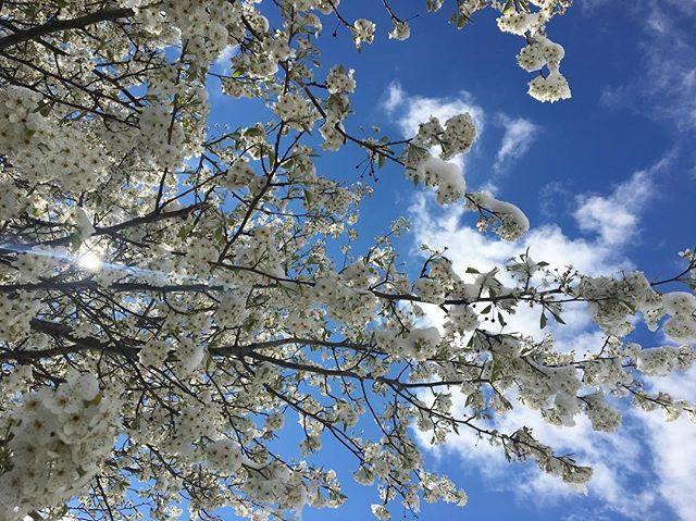 Snow blooms #pisgahflowers #spring?
