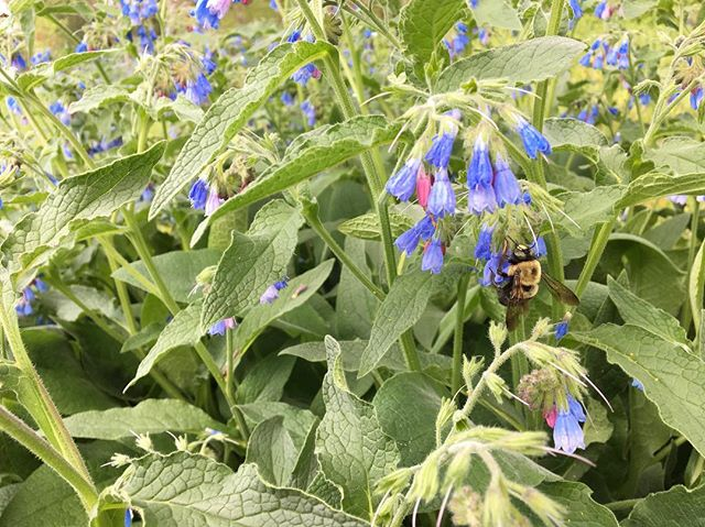 Borage in bloom. I love it and so do our sweet pollinators #pisgahflowers #happybees #savethebees