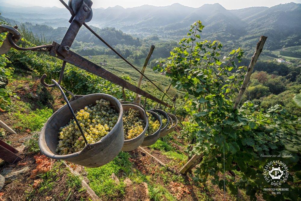 Harvest in the hills of Conegliano Valdobbiadene Prosecco Superiore DOCG  (Image:Arcangelo Piai, Prosecco Superiore DOCG)