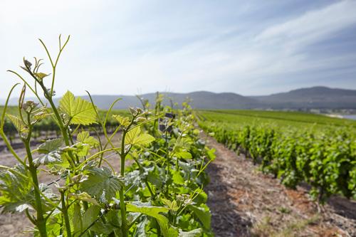 our-vineyards.jpg