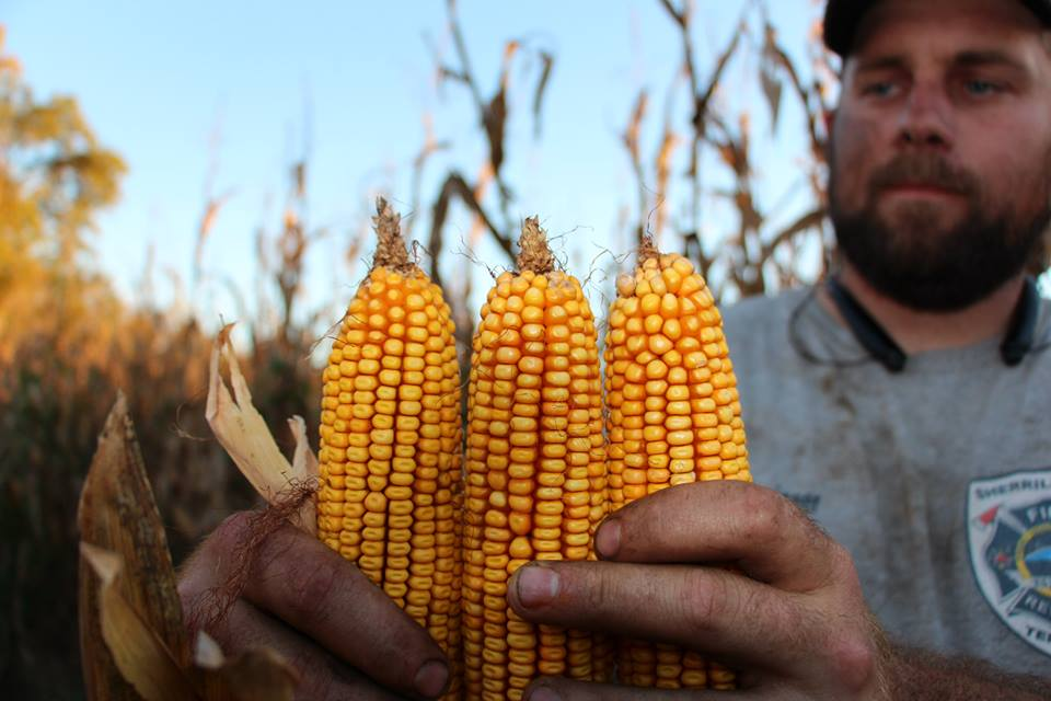 "Russell Hedrick, holding freshly harvested ""Hedrick Corn"" from this year's crop."