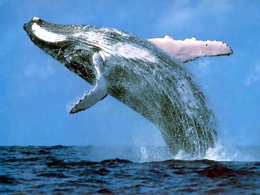 Baleia-franca-do-sul, espécie em perigo
