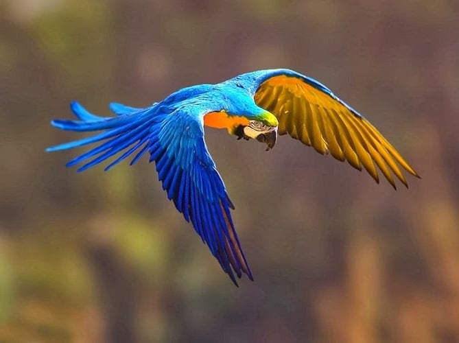 Arara azul, espécie em perigo