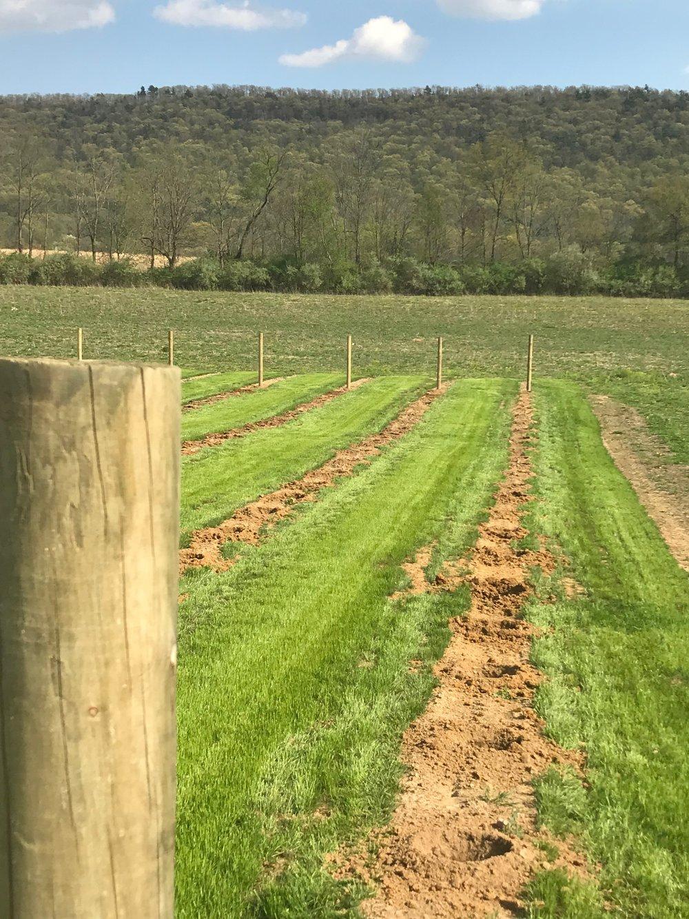 More vineyard posts.