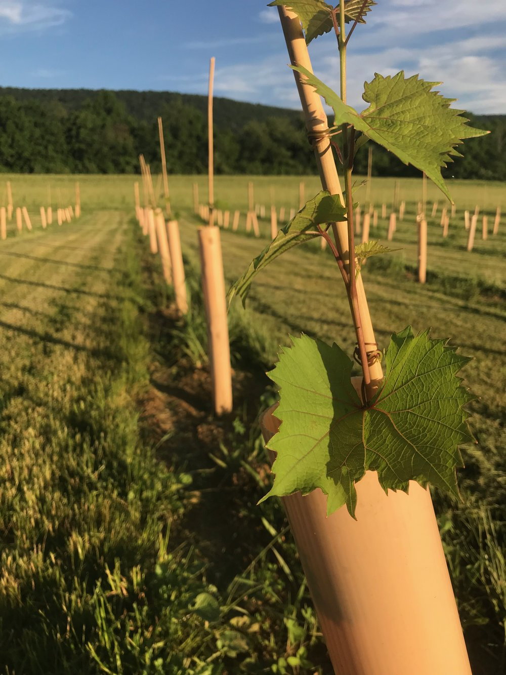 Vines growing. Looking good!