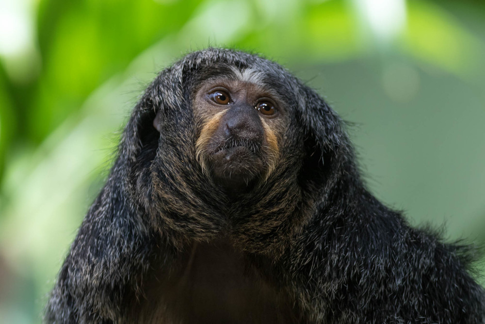 Pale-faced saki-2.jpg
