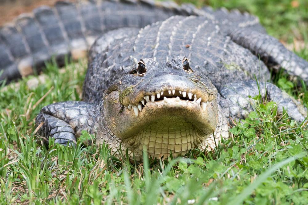 Gator-18.jpg