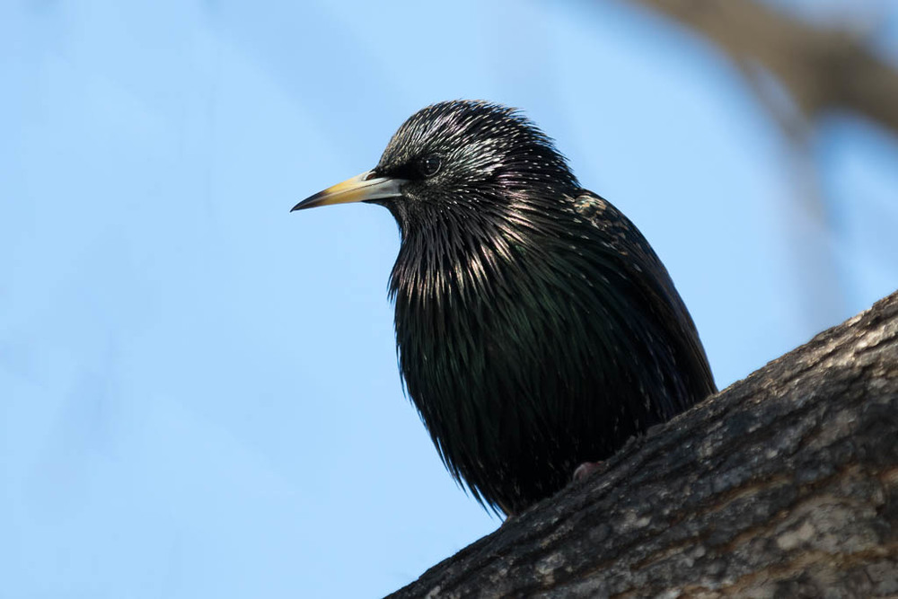 Common (European) Starling Sturnus Vulgaris perched on a tree li