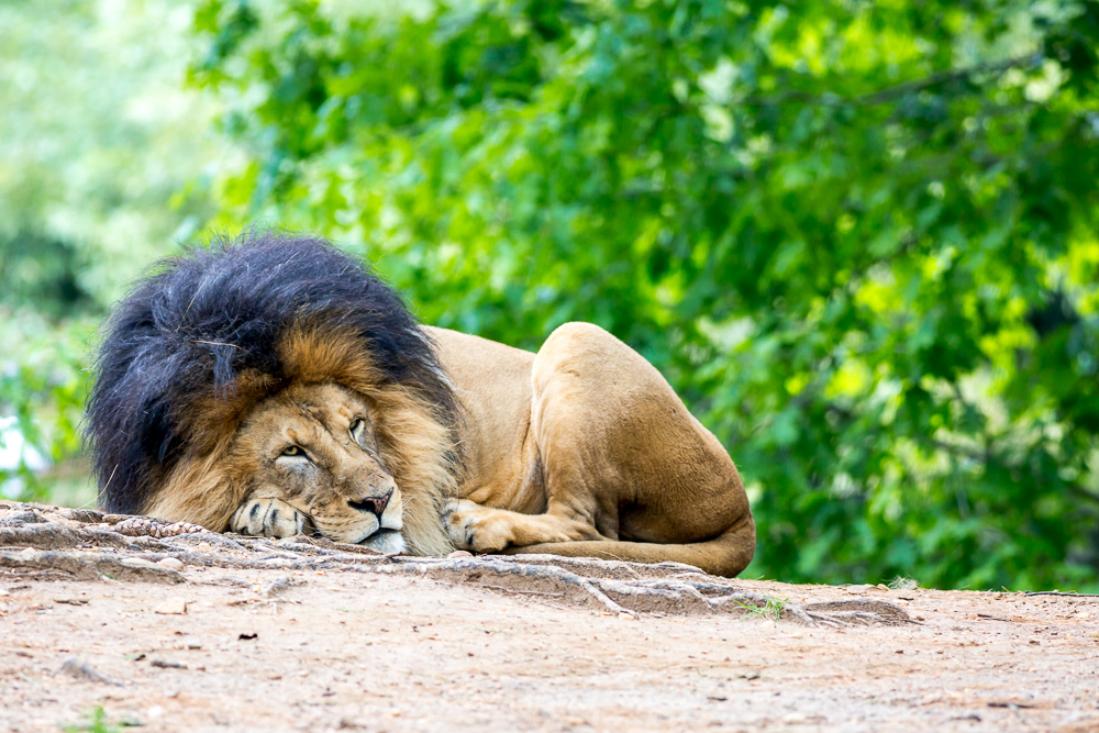 male lion-20.jpg