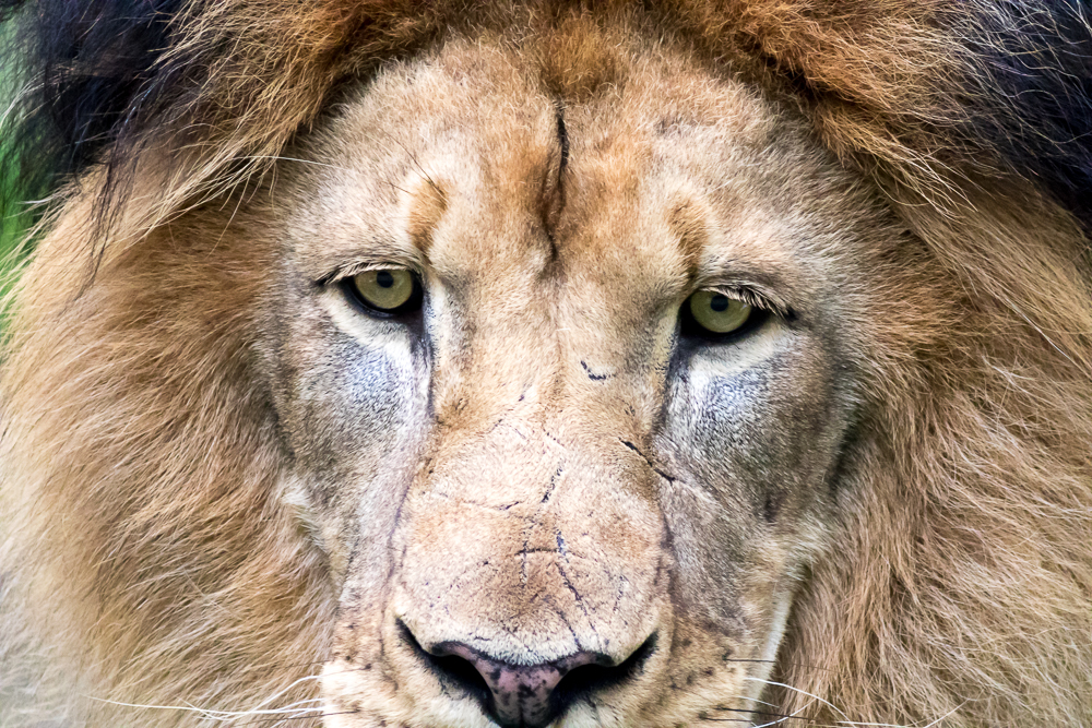 In this close-up on the Male Lions (Panthera leo) face you can s