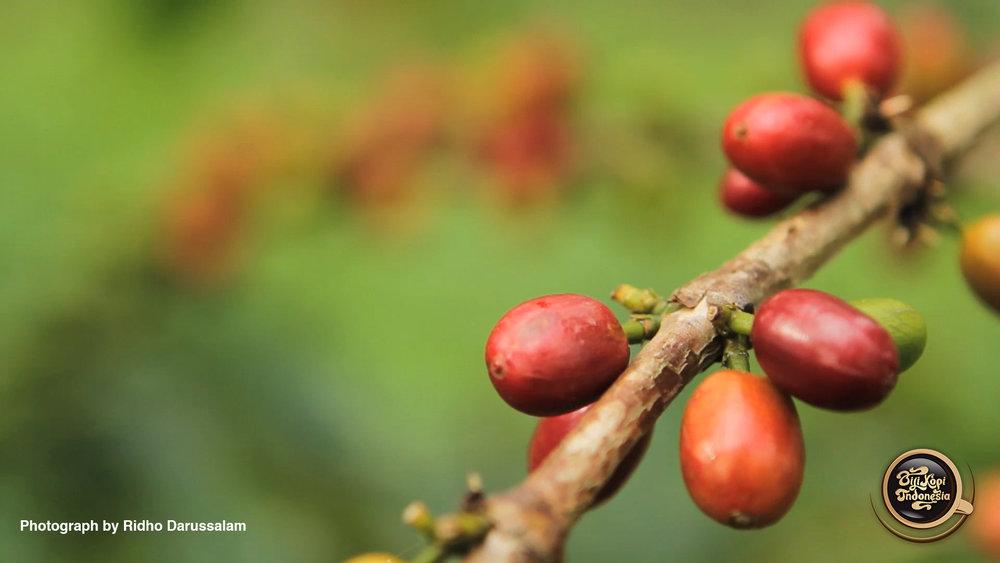 red_cherry_01.jpg