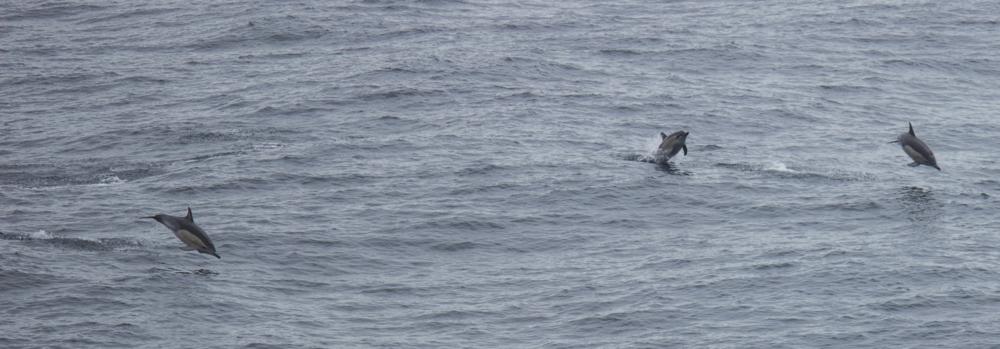 Not-so-common Dolphins. Victoria coast, Australia.