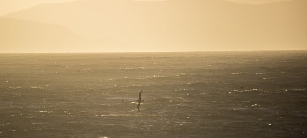 Seabird size-up. Tasman Sea.
