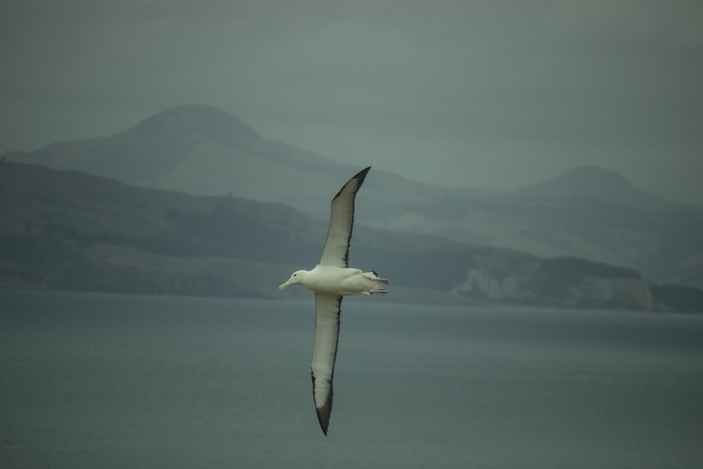 Northern Royal Albatross. Taiaroa Head, Dunedin, New Zealand.